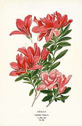 Azalea plate 166We are pleased to offer original chromolithographed prints from this lovely, scarce work by Edward Step & William Watson from color plates selected and arranged by D. Bois of the Natural History Museum of Paris. The publicatio