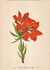 Western Red Lily  plate 35 fine print fromNorth American Wild Flowers by Mary Vaux Walcott (1860-1940)Washington, D.C.: Smithsonian Institute, 19255 volumes. (LIMITED EDITION to 500) This is from a portfolio of 25 called Selected Prints!These print