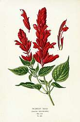 Scarlet Sage  plate 223We are pleased to offer original chromolithographic prints from this lovely, scarce work by Edward Step & William Watson from color plates selected and arranged by D. Bois of the Natural History Museum of Paris. The pub