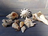 Sea Shell Assortment, 7 Shells, Two Reef Rock Specimens, Assorted Shells, Whelk, Murex, Spider Conch, Cones, Carrier Shell, Shell Collecting